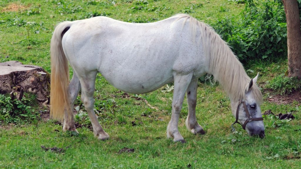 Picture of a pregnant white mare,