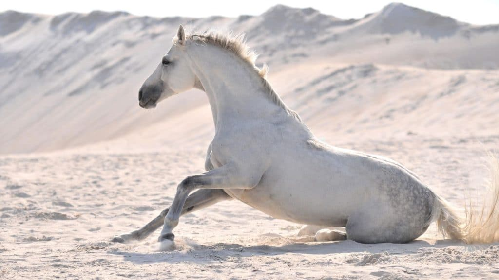 Picture of a white horse,