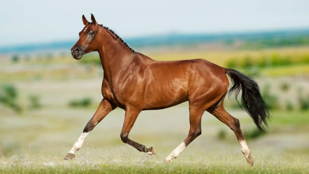 Picture of a warmblood horse,
