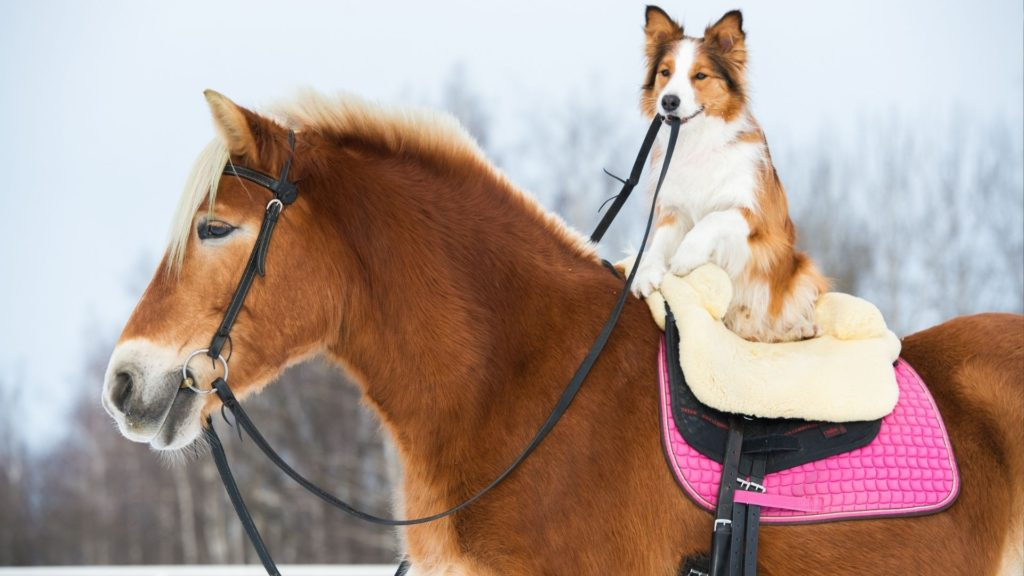 Picture of a border collie riding a horse,
