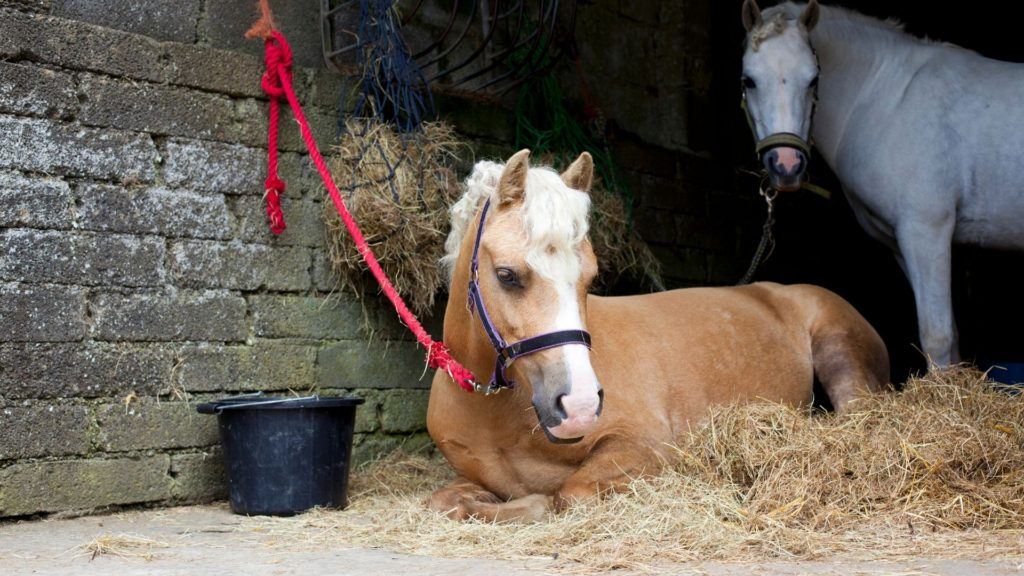 Picture of two horses, one laying near a feed bucket.