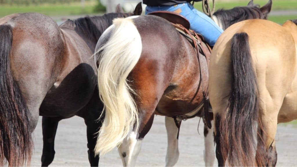 Picture of horses tails.