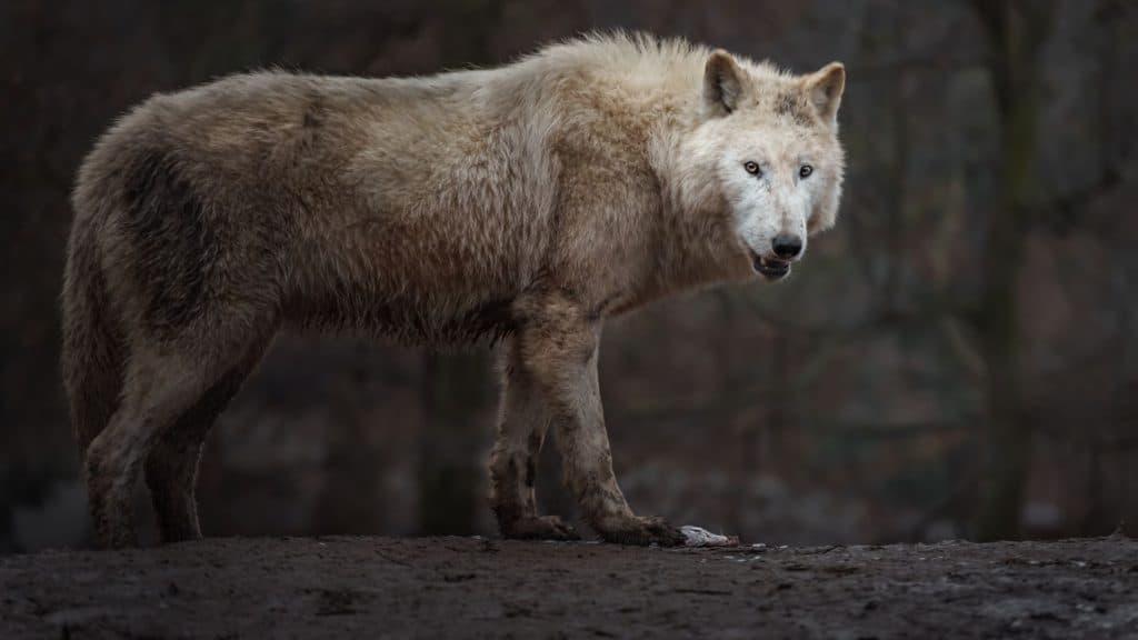Picture of a stalking wolf