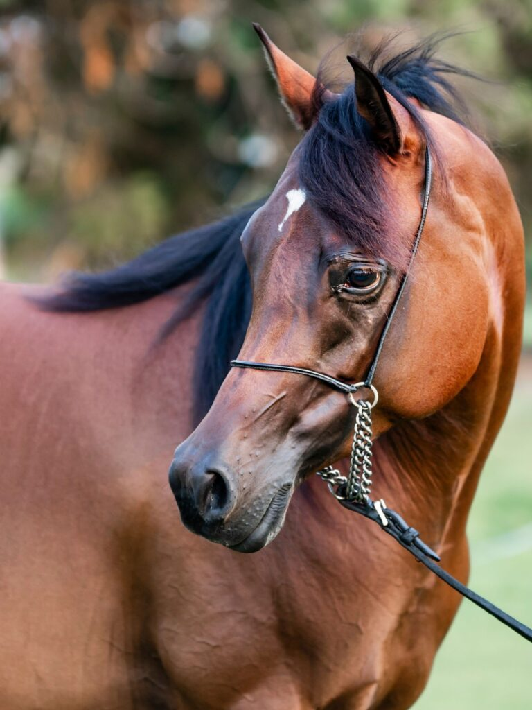 Picture of an Arabian horse.
