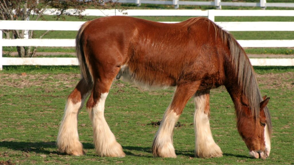 Picture of a Clydesdale horse.