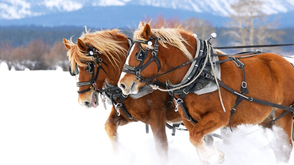 Picture of draft horses pulling through snow.