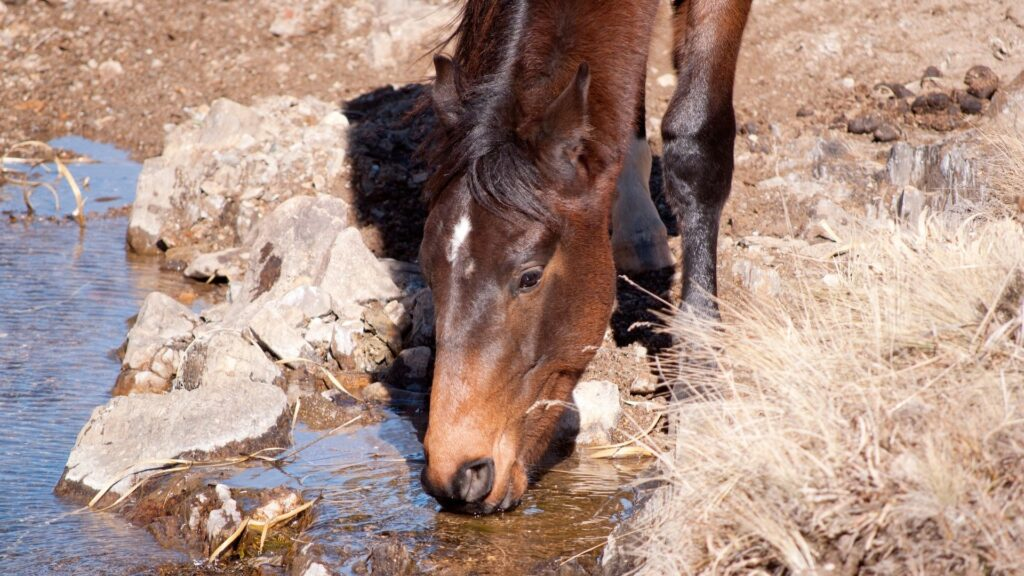 Picture of a horse drinking water.
