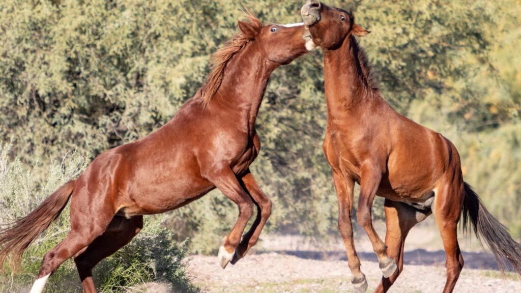 Picture of horses fighting and biting