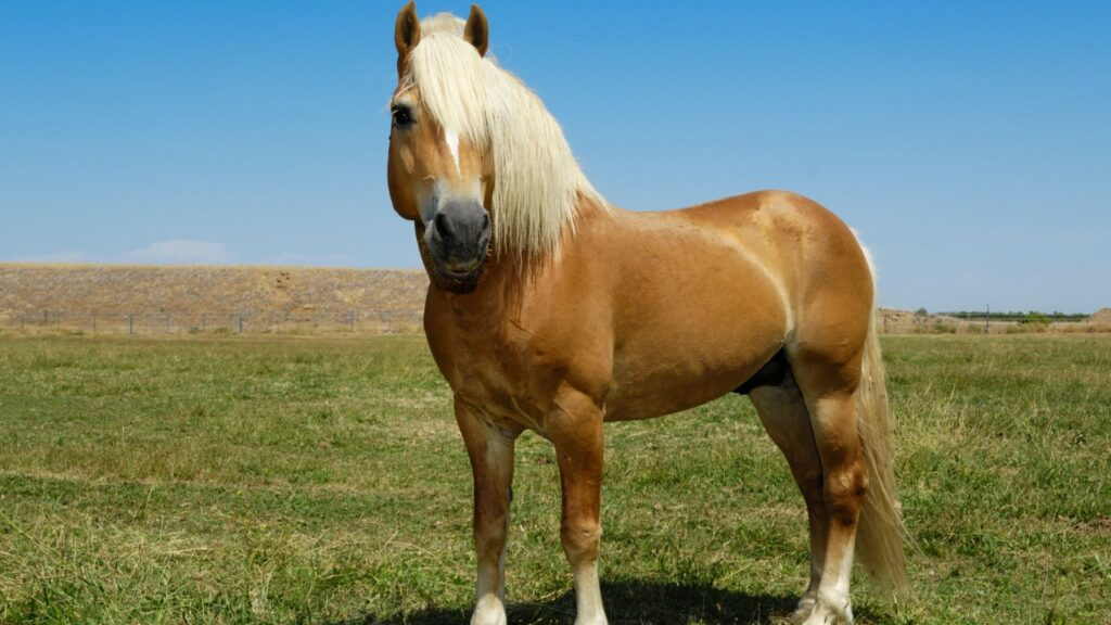 Picture of a Haflinger horse standing in a pasture.