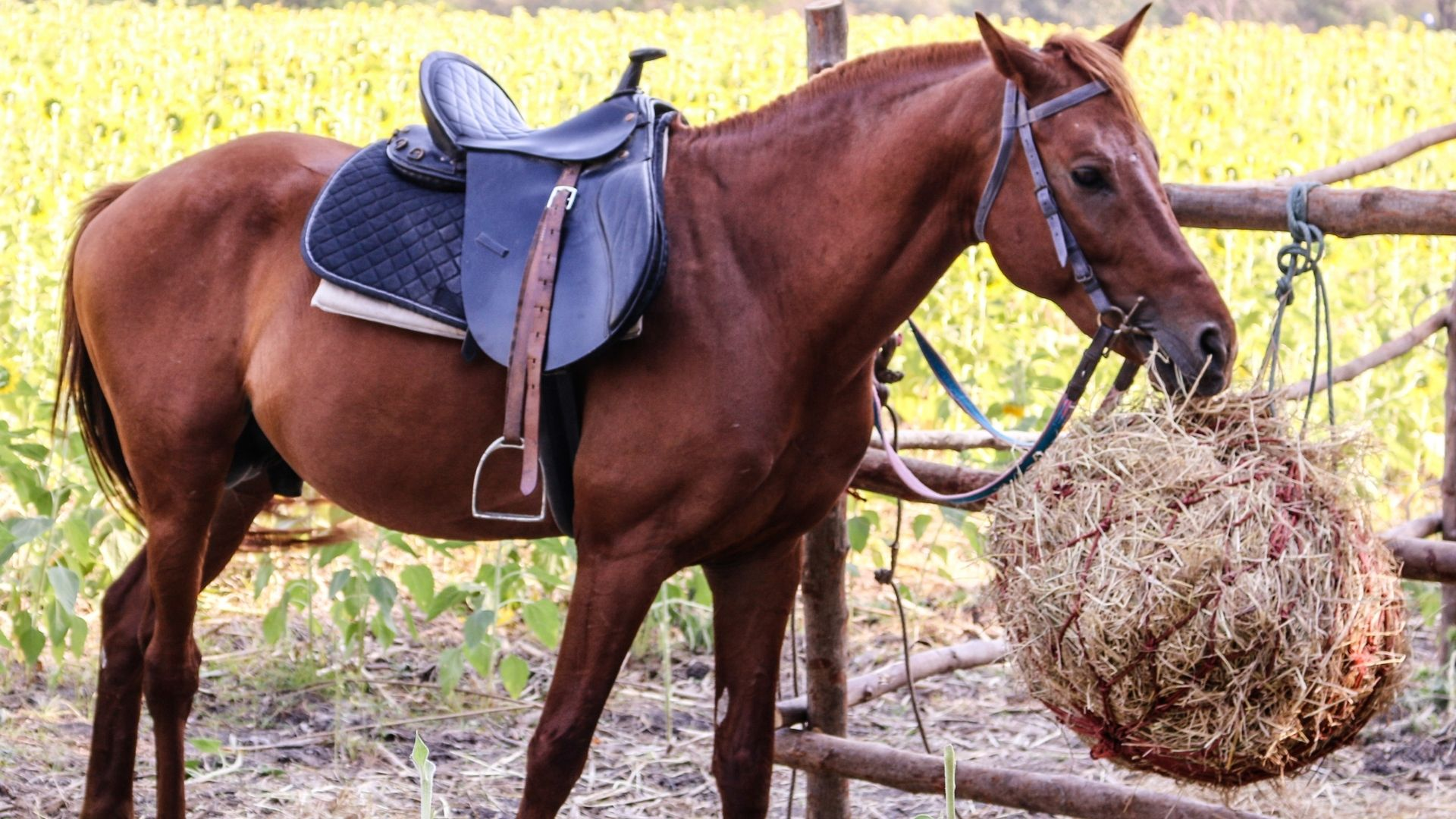 Picture of a horse eating hay from a hay bag