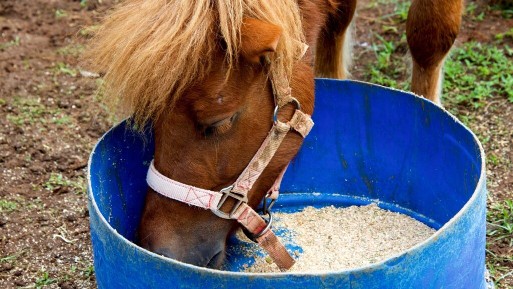 Picture of a horse eating grain from a bucket.