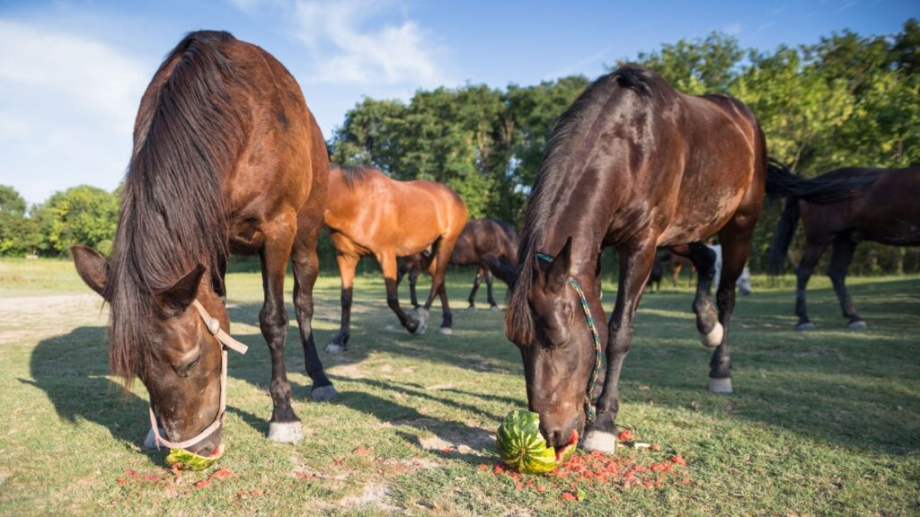 Picture of horses eating watermelons