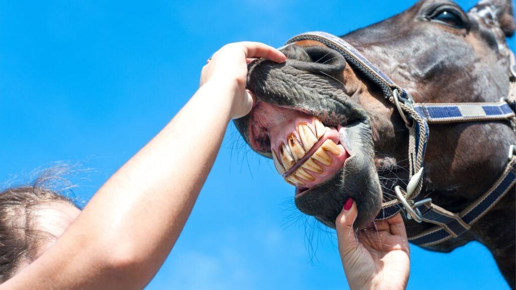 Picture of a person looking at a horses mouth.