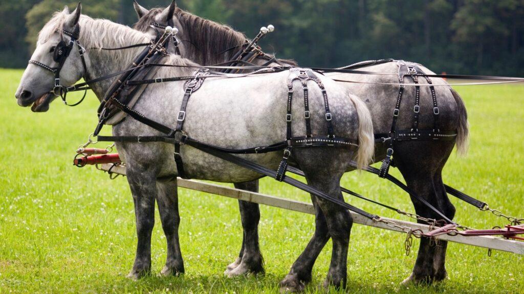 Picture of Percheron horses.