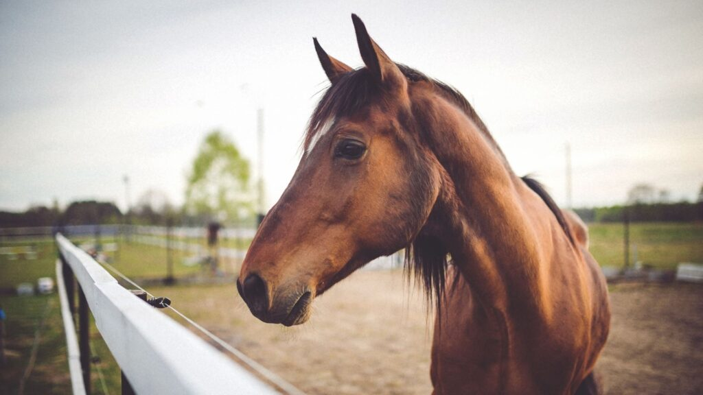 Picture of a racehorse looking over a fence