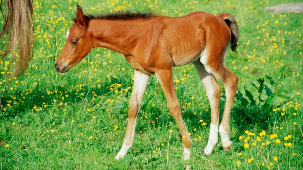 Picture of a foal in a meadow.
