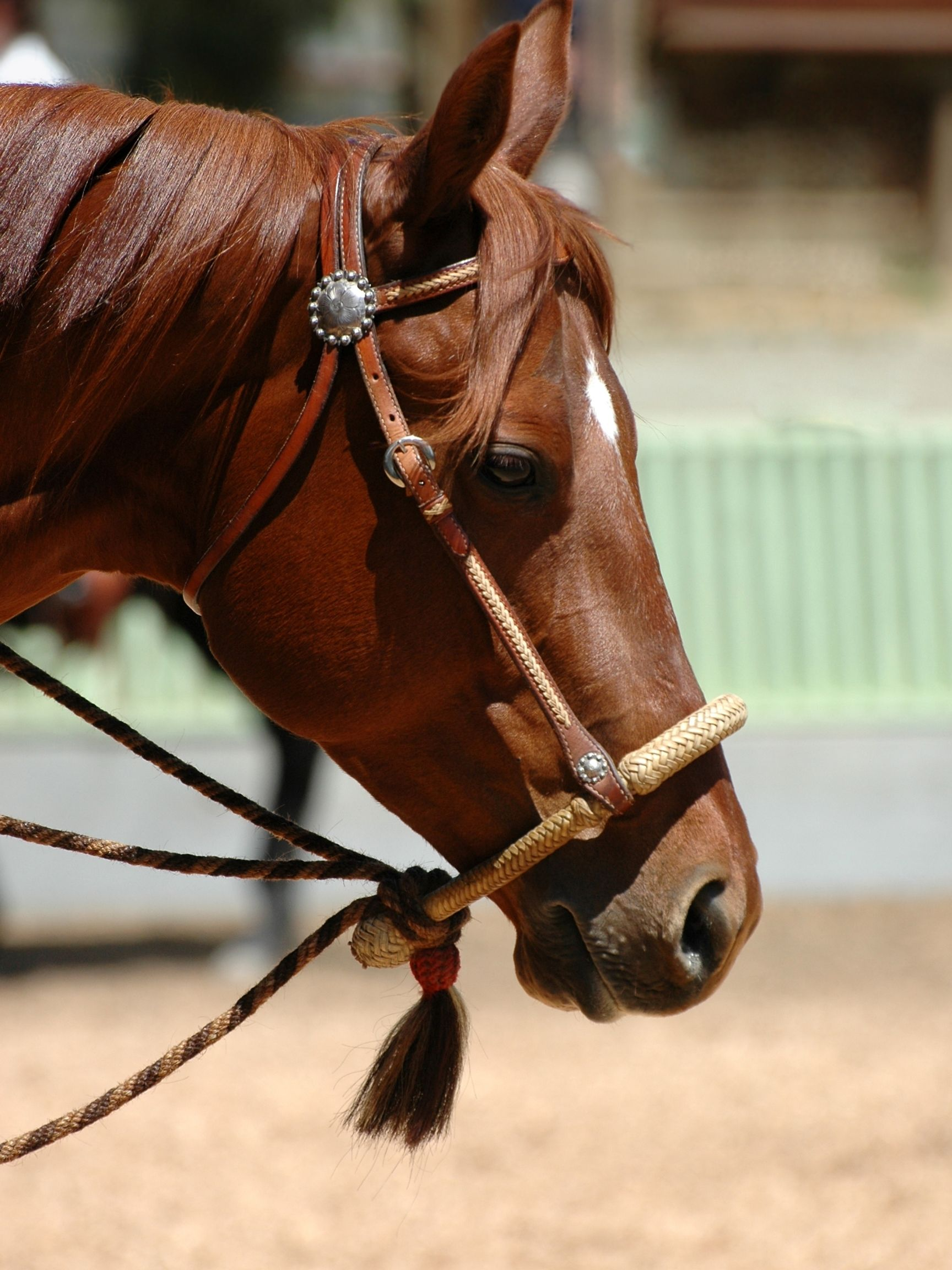 Picture of a horse in a hackamore.