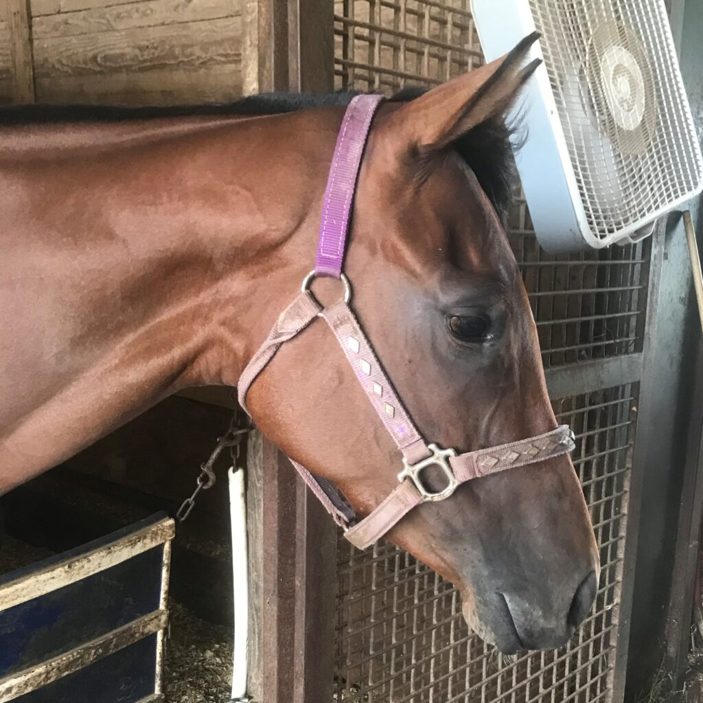 Picture of my horse Mindy wearing a nylon halter.