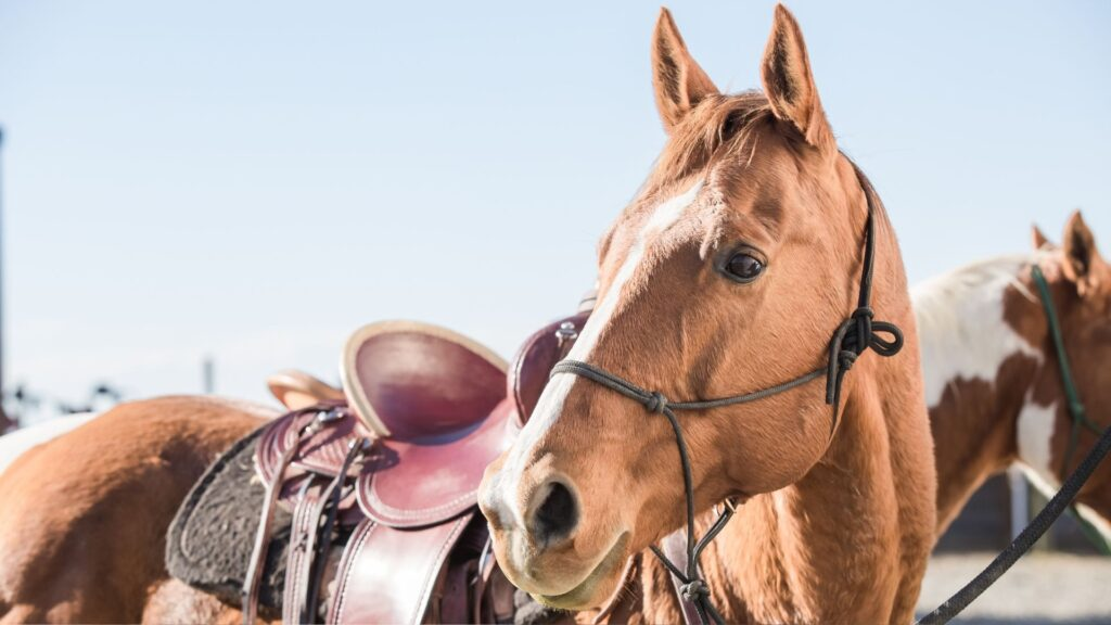 Picture of a horse with halter or hackamore.