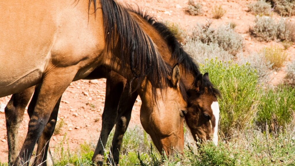 Picture of Pryor Mountain Mustangs.