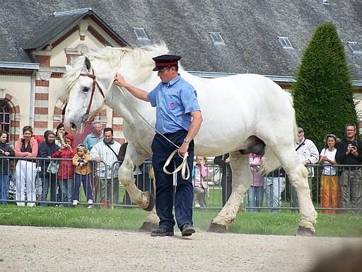 Picture of a boulonnais horse