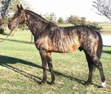 Picture of a bay brindle horse
