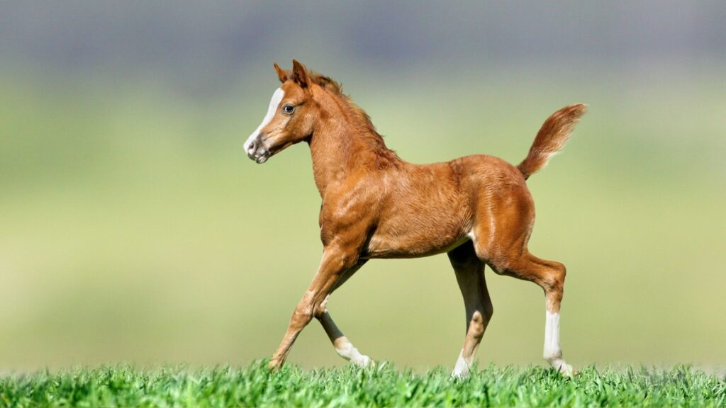 Picture of a foal in a pasture.