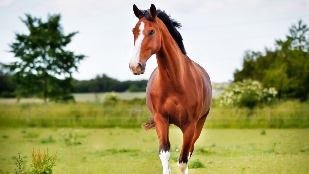 Picture of a horse walking in a pasture.