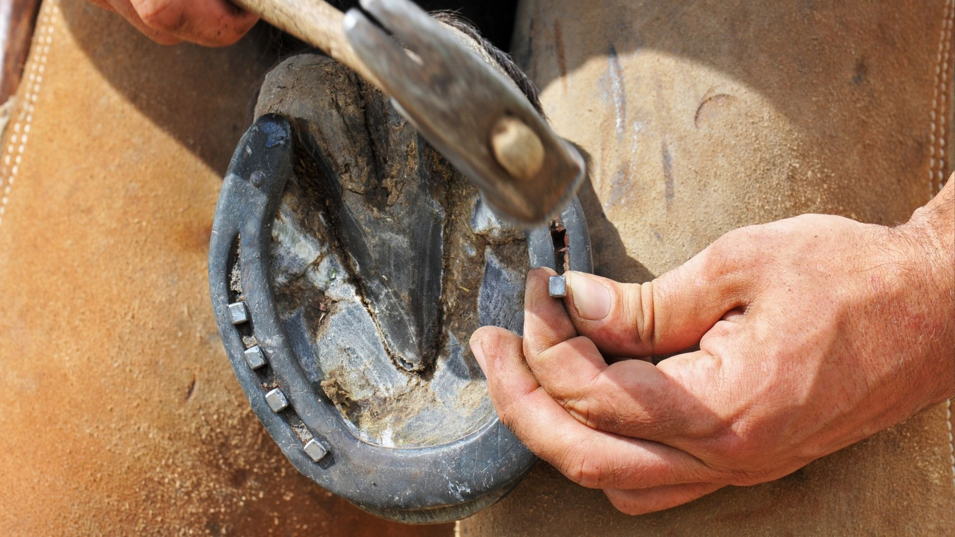 Picture of a farrier nailing a horseshoe on a horses' hoof.