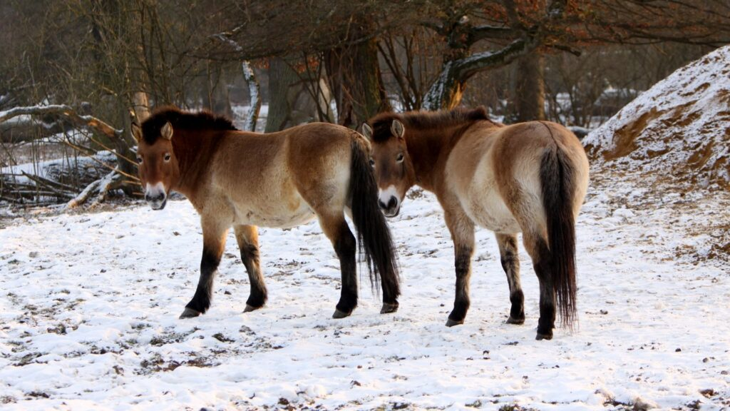 Picture of Przewalski's horse, one of many rare horse breeds.