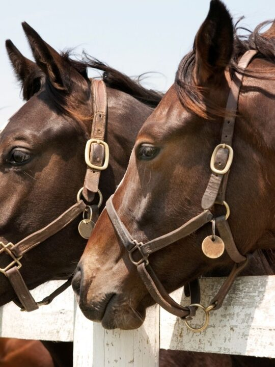 Picture of three thoroughbreds looking over a fence.