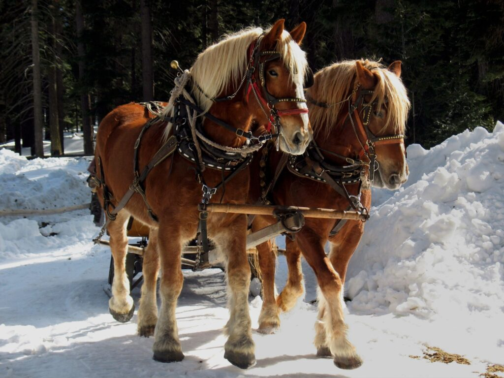 Picture of Belgian draft horses,