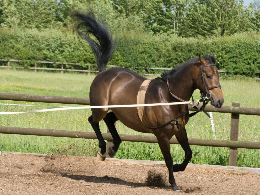 Picture of a young horse on a lunge line.