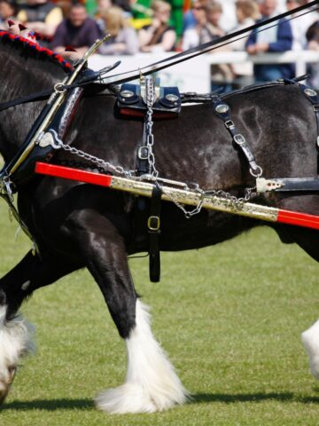 picture of a shire work horse.